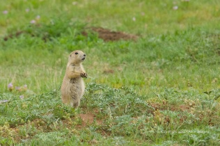 Prairie dog in Wyoming.